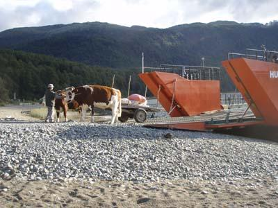 A bullock wagon backing up to the ferry to unload bags of apples at Puerto Pirihueico.