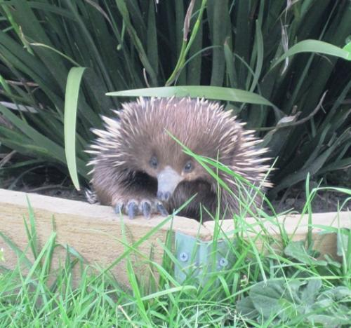 An inquisitive echidna.